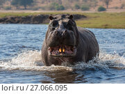 Купить «RF - Hippopotamus (Hippopotamus amphibius) showing territorial aggression, charging in Chobe river, Botswana, September. (This image may be licensed either as rights managed or royalty free.)», фото № 27066095, снято 12 июля 2020 г. (c) Nature Picture Library / Фотобанк Лори