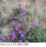 Купить «Sand verbena (Abronia) flowering in a dried up bush, Anza-Borrego State Park, California, USA, March 2017. These plants are flowering during on largest...», фото № 27066099, снято 17 августа 2018 г. (c) Nature Picture Library / Фотобанк Лори