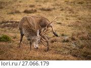 Купить «Red deer (Cervus elaphus) stag scratching leg with antler, Scotland, UK, February.», фото № 27066179, снято 26 сентября 2018 г. (c) Nature Picture Library / Фотобанк Лори