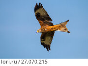 Купить «Red Kite (Milvus milvus) hunting, Wales, UK, May.», фото № 27070215, снято 24 сентября 2018 г. (c) Nature Picture Library / Фотобанк Лори