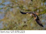 Купить «Red Kite (Milvus milvus) hunting, Wales, UK, May.», фото № 27070223, снято 24 сентября 2018 г. (c) Nature Picture Library / Фотобанк Лори
