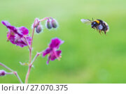 Купить «Buff tailed bumblebee (Bombus terrestris) flying to Geranium flower,  Monmouthshire, Wales, UK, May.», фото № 27070375, снято 12 декабря 2017 г. (c) Nature Picture Library / Фотобанк Лори