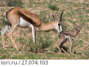 Springbok (Antidorcas marsupialis) mother grooming newborn calf, Kgalagadi Transfrontier Park, Northern Cape, South Africa, January. Стоковое фото, фотограф Ann  & Steve Toon / Nature Picture Library / Фотобанк Лори