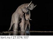 Купить «Elephants (Loxodonta africana) at waterhole drinking at night, Zimanga Private Game Reserve, KwaZulu-Natal, South Africa.», фото № 27074107, снято 12 июля 2020 г. (c) Nature Picture Library / Фотобанк Лори