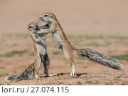 Купить «Young ground squirrels (Xerus inauris) fighting, Kgalagadi Transfrontier Park, Northern Cape, South Africa, January.», фото № 27074115, снято 28 мая 2020 г. (c) Nature Picture Library / Фотобанк Лори