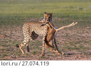 Cheetah (Acinonyx jubatus) with Springbok calf (Antidorcas marsupialis) prey that it has just caught, Kgakagadi Trans- frontier Park, Northern Cape, South Africa, January. Стоковое фото, фотограф Ann  & Steve Toon / Nature Picture Library / Фотобанк Лори