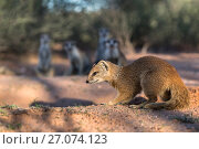 Купить «Yellow mongoose (Cynictis penicillata) at meerkat den, Kgalagadi Transfrontier Park, Northern Cape, South Africa, January. Yellow mongooses sometimes share dens with meerkats.», фото № 27074123, снято 12 июля 2020 г. (c) Nature Picture Library / Фотобанк Лори