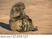Купить «Chacma baboons (Papio ursinus) grooming infant, Kruger National Park, South Africa.», фото № 27074127, снято 25 мая 2020 г. (c) Nature Picture Library / Фотобанк Лори