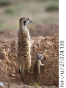 Купить «Meerkat (Suricata suricatta) with young, Kgalagadi Transfrontier Park, Northern Cape, South Africa, January.», фото № 27074135, снято 25 мая 2020 г. (c) Nature Picture Library / Фотобанк Лори
