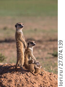 Meerkats (Suricata suricatta) with young, Kgalagadi Transfrontier Park, Northern Cape, South Africa, January. Стоковое фото, фотограф Ann  & Steve Toon / Nature Picture Library / Фотобанк Лори