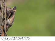 Купить «Long-eared owl (Asio otus) peering round tree trunk, UK. Captive.», фото № 27074175, снято 25 сентября 2018 г. (c) Nature Picture Library / Фотобанк Лори