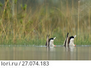 Купить «Mallard (Anas platyrhynchos) two males with heads submerged dabbling in fen pond. De Regte Heide Nature reserve, Goirle, The Netherlands, June.», фото № 27074183, снято 19 января 2018 г. (c) Nature Picture Library / Фотобанк Лори