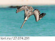 Brown pelican (Pelecanus occidentalis) diving for fish off the coast of San Cristobal Island, Galapagos. Стоковое фото, фотограф Roy Mangersnes / Nature Picture Library / Фотобанк Лори