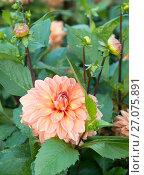 Купить «Цветок и нераскрывшиеся бутоны георгина в саду мокрые от дождя», эксклюзивное фото № 27075891, снято 20 июля 2019 г. (c) Svet / Фотобанк Лори