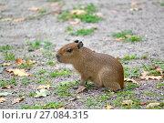 Детеныш капибары  (Hydrochoerus hydrochaeris Linnaeus)  сидит на земле. Стоковое фото, фотограф Ирина Борсученко / Фотобанк Лори