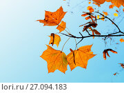 Купить «Autumn background. Orange maple autumn leaves on the background of blue sky», фото № 27094183, снято 6 октября 2017 г. (c) Зезелина Марина / Фотобанк Лори