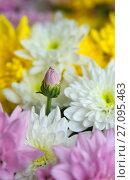 Купить «Нераскрывшийся бутон в букете из хризантем», фото № 27095463, снято 15 октября 2017 г. (c) Зобков Георгий / Фотобанк Лори