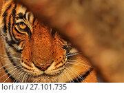 Купить «Bengal tiger (Panthera tigris) tigress 'Noor' peering from behind a tree , Ranthambhore, India», фото № 27101735, снято 22 июля 2018 г. (c) Nature Picture Library / Фотобанк Лори