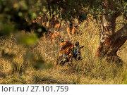 Купить «Bengal tiger (Panthera tigris) tigress Noor hunting, chasing prey, Ranthambhore, India», фото № 27101759, снято 22 июля 2018 г. (c) Nature Picture Library / Фотобанк Лори