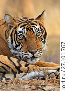 Купить «Bengal tiger (Panthera tigris) tigress Noor , Ranthambhore, India», фото № 27101767, снято 20 февраля 2020 г. (c) Nature Picture Library / Фотобанк Лори