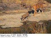 Купить «Bengal tiger (Panthera tigris) tigress 'Noor T39' with cubs age three months , Ranthambhore, India», фото № 27101775, снято 15 декабря 2017 г. (c) Nature Picture Library / Фотобанк Лори