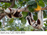 Купить «Coquerel's sifaka (Propithecus coquereli), three including female with baby, feeding on bark whilst hanging from branch, Anjajavy Private Reserve, north west Madagascar.», фото № 27101991, снято 15 июля 2020 г. (c) Nature Picture Library / Фотобанк Лори
