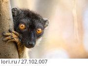 Купить «Common brown lemur (Eulemur fulvus) portrait, Anjajavy Private Reserve, north west Madagascar.», фото № 27102007, снято 22 апреля 2019 г. (c) Nature Picture Library / Фотобанк Лори
