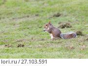 Купить «Grey squirrel in autumn park, telephoto», фото № 27103591, снято 3 октября 2017 г. (c) Константин Шишкин / Фотобанк Лори