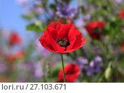 Купить «Красный мак на цветущем лугу», фото № 27103671, снято 29 мая 2017 г. (c) Яна Королёва / Фотобанк Лори