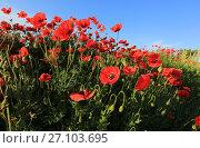 Купить «Поле цветущих маков в солнечный день», фото № 27103695, снято 29 мая 2017 г. (c) Яна Королёва / Фотобанк Лори