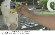Купить «Big white parrot Cockatoo eats a banana stock footage video», видеоролик № 27103727, снято 7 сентября 2017 г. (c) Юлия Машкова / Фотобанк Лори