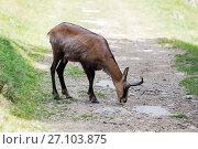 Купить «Rupicapra rupicapra is feeding on trail on green meadow», фото № 27103875, снято 20 июля 2017 г. (c) Юлия Кузнецова / Фотобанк Лори