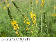 Купить «Репешок обыкновенный (Agrimonia eupatoria)», фото № 27103919, снято 3 июля 2017 г. (c) Ирина Яровая / Фотобанк Лори