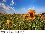 Купить «Подсолнухи в поле, голубое небо и облака», фото № 27112447, снято 13 июля 2017 г. (c) Яна Королёва / Фотобанк Лори