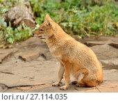 Купить «Обыкновенный или азиатский шакал, чекалка (Canis aureus)», фото № 27114035, снято 17 октября 2017 г. (c) Валерия Попова / Фотобанк Лори