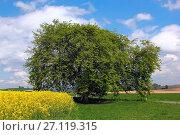 Купить «Hornbeam (Carpinus betulus) at Eslohe-Büenfeld, Hochsauerlandkreis, NRW, Germany / Hainbuche (Carpinus betulus) in Eslohe-Büenfeld, Hochsauerlandkreis, NRW, Deutschland», фото № 27119315, снято 2 мая 2011 г. (c) age Fotostock / Фотобанк Лори