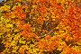 """Фон """"осенние кленовые листья"""", фото № 27129539, снято 9 октября 2017 г. (c) Владимир Федечкин / Фотобанк Лори"""