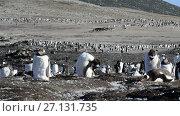 Купить «Gentoo Penguins on the nest», видеоролик № 27131735, снято 19 октября 2017 г. (c) Vladimir / Фотобанк Лори