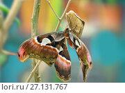 Купить «Павлиноглазка Атлас (Attacus atlas)», фото № 27131767, снято 3 июня 2017 г. (c) Татьяна Белова / Фотобанк Лори