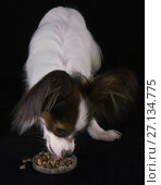 Купить «Beautiful young male dog Continental Toy Spaniel Papillon eats dry food on black background», фото № 27134775, снято 9 октября 2017 г. (c) Юлия Машкова / Фотобанк Лори