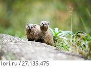 Rock hyrax (Procavia capensis) two on rock, Montagu Pass, Western... Стоковое фото, фотограф Richard Du Toit / Nature Picture Library / Фотобанк Лори