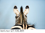 Купить «Burchell's zebra (Equus quagga burchellii) rear view of mane and ears, Rietvlei Nature Reserve, Gauteng Province, South Africa.», фото № 27135491, снято 17 августа 2018 г. (c) Nature Picture Library / Фотобанк Лори
