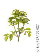 Купить «Alexanders (Smyrnium olusatrum) in flower.», фото № 27135627, снято 15 декабря 2017 г. (c) Nature Picture Library / Фотобанк Лори