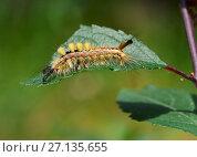Купить «Tussock moth larva (Orgyia antiqua) Sussex, England, UK, July.», фото № 27135655, снято 16 декабря 2017 г. (c) Nature Picture Library / Фотобанк Лори