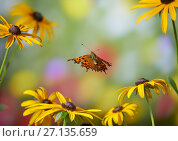 Купить «Comma butterfly (Polygonia c-album) in flight, Sussex, England, UK, September.», фото № 27135659, снято 25 апреля 2018 г. (c) Nature Picture Library / Фотобанк Лори