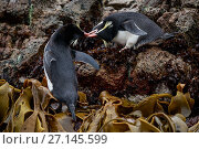 Купить «Snares crested penguin (Eudyptes robustus) amongst Bull Kelp (Durvillaea sp.), Subantarctic Snares Islands (Tine Heke), New Zealand. January.», фото № 27145599, снято 22 ноября 2017 г. (c) Nature Picture Library / Фотобанк Лори