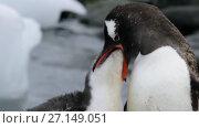 Купить «Gentoo Penguins chiks», видеоролик № 27149051, снято 25 октября 2017 г. (c) Vladimir / Фотобанк Лори