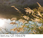 Купить «Reed sunlit bends over the surface of the water», фото № 27154679, снято 20 октября 2016 г. (c) Юлия Бабкина / Фотобанк Лори