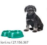 Small hungry mittelschnauzer puppy near empty dog bow. Стоковое фото, фотограф Serg Zastavkin / Фотобанк Лори