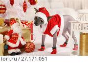 Купить «Don Sphinx cat dressed as Santa Claus», фото № 27171051, снято 31 октября 2017 г. (c) Алексей Кузнецов / Фотобанк Лори